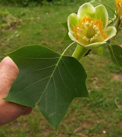 Liliovník tulipánokvětý cena