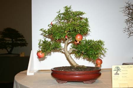Granátové jablko pěstování