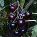 "Sazenice Rajče Clackamas Blueberry ""borůvka"""
