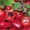 Sazenice Chilli Rocoto Red