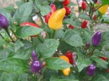 Sazenice Chilli Chinese Five Color