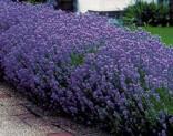 Sazenice Levandule - Lavandula angustifolia
