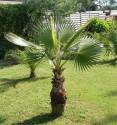 Sazenice Palma Washingtonia robusta 1-2 první listy velikost cca 10 cm