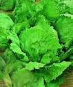 Salát hlávkový Pražan Sada obsahuje 500 semen