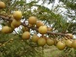 Sazenice Phyllanthus Emblica ( Angrešt indický)