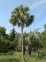 Sazenice  palma Sabal causiarum Sazenice cca 10 cm