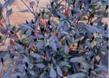 Chilli Zimbabwe black 10 semen