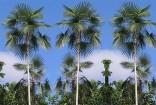 palma Coccothrinax argentea Balení obsahuje 3 semena