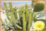 Kaktus Corryocactus brevistylus Balení obsahuje 10 semen