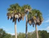3x naklíčená semena Palma Sabal palmetto