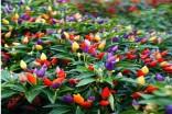 Chilli Chinese Five Color Balení obsahuje 10 semen