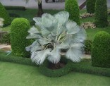 TOP Naklíčená semena palma Copernicia hospita