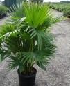 Naklíčená s. 2 x Palma Livistona chinensis