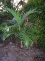 2 x naklíčená semena Palma Archontophoenix a. 2 x naklíčená semena
