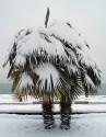 v Palma Trachycarpus f. -100 x naklíčená semena