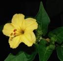 Mirabilis Jalapa žlutá Nocenka  Balení obsahuje 20 semen