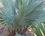 Nannorrhops arabica (silver)naklíčená semena Sada obsahuje 2 semena