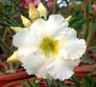 Adenium Obesum Arctic Snow   Balení obsahuje 5 hybridních semen