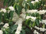 Coffea Arabica - Kávovník   Balení obsahuje 5 semen