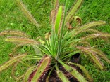 "Drosera capensis ""Dark maroon plant; BZ Bonn"" Balení obsahuje 30 semen"