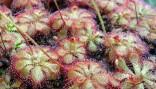 """Drosera sp.""""pretty rosette"""" (krásná růžice) Balení obsahuje 30 semen"""