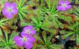 Drosera Spathulata var. Gympiensis Balení obsahuje 30 semen
