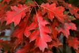 Dub červený Quercus rubra Sazenice