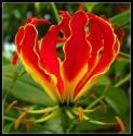 Gloriosa Superba – Glorióza vznešená sada obsahuje 5 semen