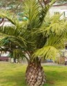 palma Jubaea chilensis Balení  obsahuje 1 semeno