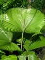 Licuala Grandis Balení obsahuje 5 semen