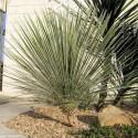 Yucca Glauca  Balení obsahuje 8 semen
