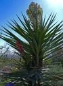 Yucca Torrey  Balení obsahuje 8 semen