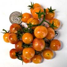 Bicolor Cherry