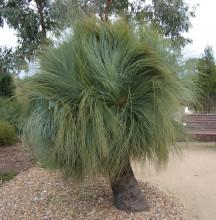 Trávový strom Xanthorrhoea Australis
