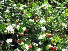 Carrisa Grandiflora