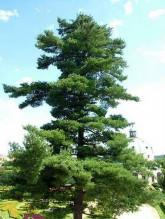 Borovice Korejská - Pinus Koraiensis