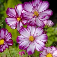 Krásenka zpeřená Fizzy Rose Picotee