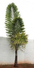 Palma Wallichia disticha