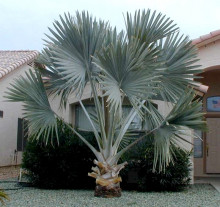 Bismarckia nobilis