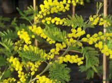 Acacia dealbata - akácie sivozelená
