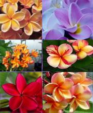 Plumeria Frangipani mix barev