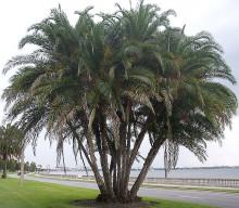 Palma Phoenix reclinata – Datlovník senegalský