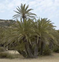 Palma Phoenix theophrasti