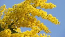 Acacia Decurrens - Akácie sivozelená