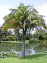 Palma Phoenix rupicola