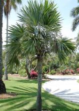 Palma Leucothrinax morrisii