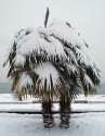 Sazenice 10 ks palma Trachycarpus Fortunei