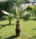 3 x naklíčené semeno Palma Washingtonia robusta