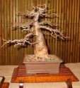 Sazenice Baobab - Adansonia Digitata