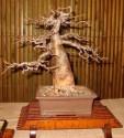 ♣ 100 x semena Baobab - Adansonia digitata  Zvýhodněná nabídka